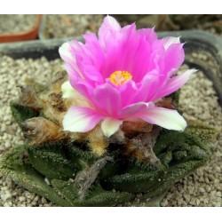 Ariocarpus fissuratus v hintonii SB1568