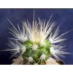 Discocactus albispinus MH731