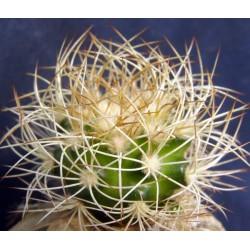 Discocactus araneispinus MH733