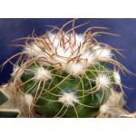 Discocactus bahiensis v.gracilis MH637