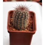 Echinocereus russanthus SB420