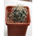 Gymnocactus  horripilus ssp.kvetae