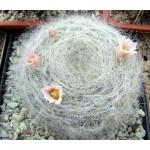 Mammillaria glassii v.siberiensis
