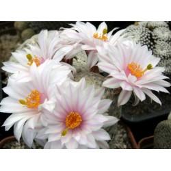 Mammillaria herrerae v.albiflora