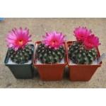 Notocactus submammulosus ssp. Minor