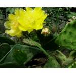 Opuntia humifusa  Один сегмент