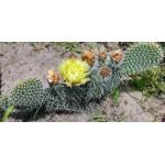 Opuntia polyacantha  Black Mesa, OK.один сегмент