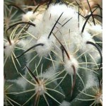 Coryphantha calipensis FO-066