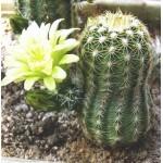 Echinocereus chloranthus v cylindricus `corellii' SB743