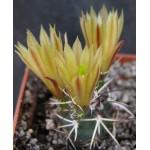 Echinocereus davisii SB426