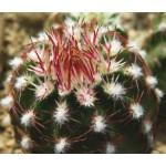 Echinocereus viridiflorus SB876