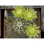 Echinocereus viridiflorus DJF713