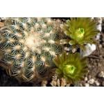 Echinocereus carmenensis