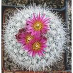 Escobaria laredoi SB289  D90 klump
