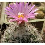 Escobaria vivipara v rosea SB720
