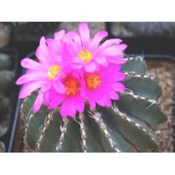 Geochintonia mexicana