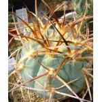 Gymnocalycium cardenasianum JO 193