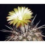Neoporteria krainziana KK1078