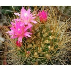 Neoporteria multicolor KK98 10 pcs
