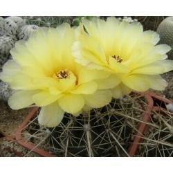 Notocactus turecekianus