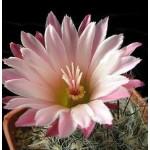 Pyrrhocactus floccosus