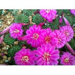 Rebutia violaciflora 10 pcs