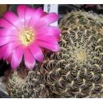 Sulcorebutia albissima HS 0024