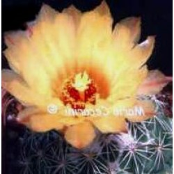 Coryphantha calipensis FO-195