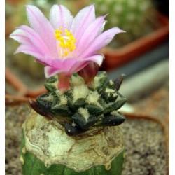 Ariocarpus scapharostrus x kotschoubeyanus