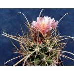 Ferocactus fordii x Ferobergia