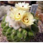 Notocactus calvescens GF141