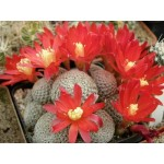 Rebutia albopectinata  klump