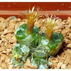 Conophytum angelicae ssp tetragonum SB1376