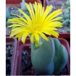 Conophytum bilobum SH670 n Komaggas