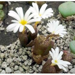 Conophytum cupreatum Dooddrink