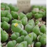 Conophytum halenbergense