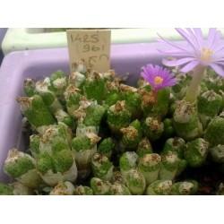 Conophytum karamoepense SH412 Aggeneys