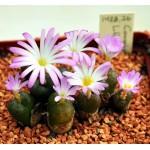 Conophytum lithopsoides Smorenskadu