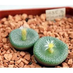 Conophytum obcordellum 'declinatum' BM7928