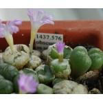 Conophytum obscurum ssp sponsaliorum