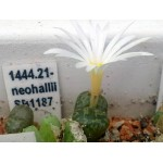 Conophytum pellucidum v neohallii SB1187