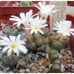 Conophytum pellucidum v neohallii