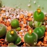 Conophytum pubicalix