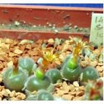 Conophytum stephanii SB1120