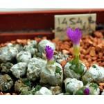 Conophytum sulcatum SB1118