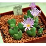 Conophytum taylorianum H4638