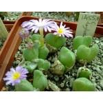 Conophytum taylorianum ssp nova