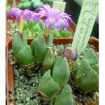 Conophytum taylorianum ssp ernianum