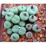Conophytum truncatum PV1073