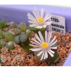 Conophytum australe SB2011